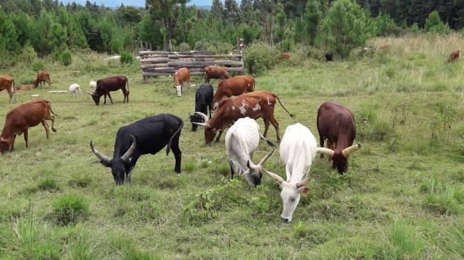 Herd of longhorns